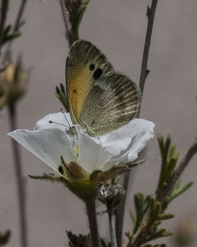 Apache Plume Butterfly