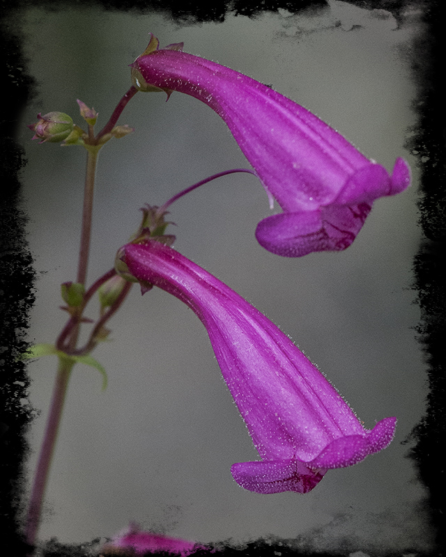 Arizona Penstemon Flower