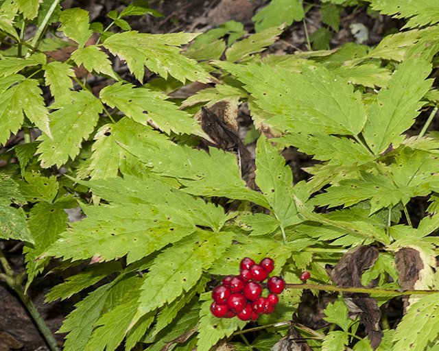 Baneberry Leaves and Berries