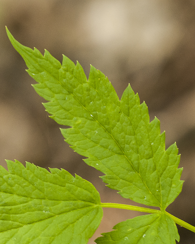 Baneberry Leaves