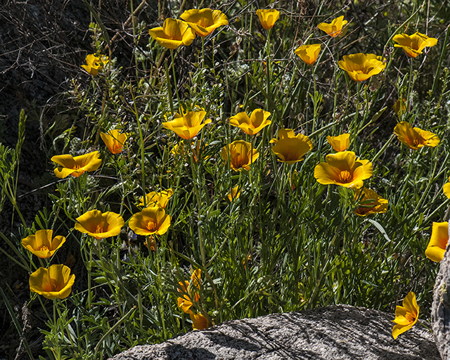 California Poppy Plant