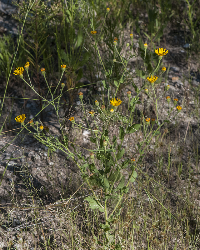 Camphorweed Plant
