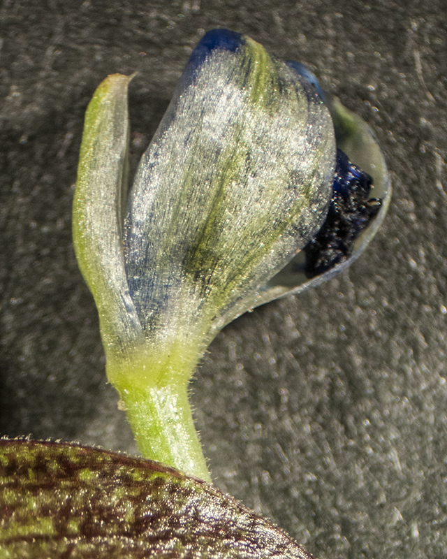 Dayflower Bud from Spathe