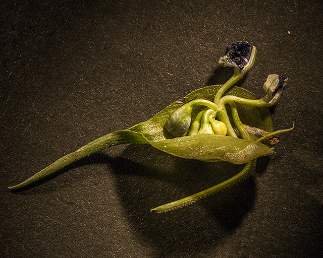 Dayflower Open Spathe