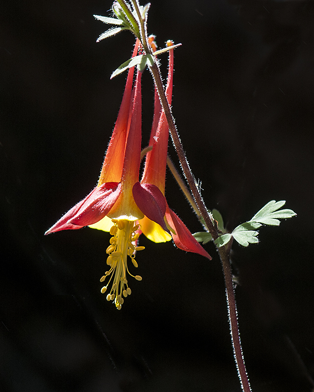 Desert Columbine Flower