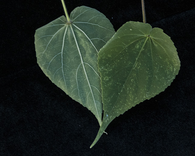 Indian Anoda Leaves