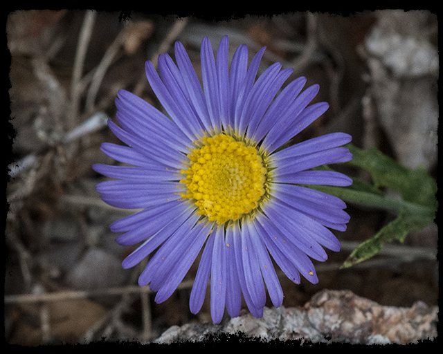 Narrow-leaf Aster Flower