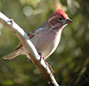 Thumb: Cassin's Finch