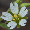 Thumb: Chickweed