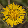 Thumb: Curlycup Gumweed