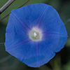 Ivyleaf Morning Glory
