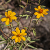 Thumb: Mountain Marigold