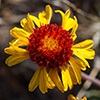 Thumb: Red Dome Blanketflower