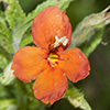 Thumb: Red Monkeyflower