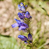 Thumb: Rocky Mountain Beardtongue