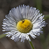Thumb: Spreading Fleabane