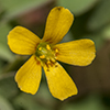 Thumb: Yellow Wood Sorrel